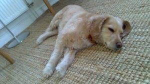 En avspänd, sommarklippt fin liten hund på semester